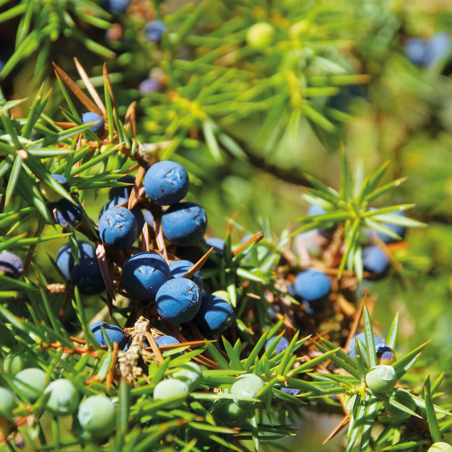 Lakes Distillery Juniper Berries