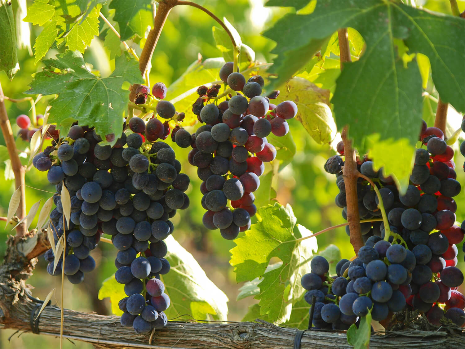 grapes-in-vineyard