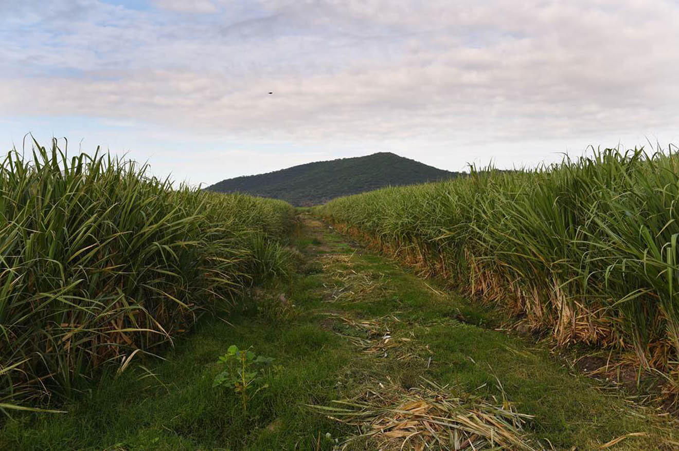 Bacardi Facundo Sugar Cane Fields