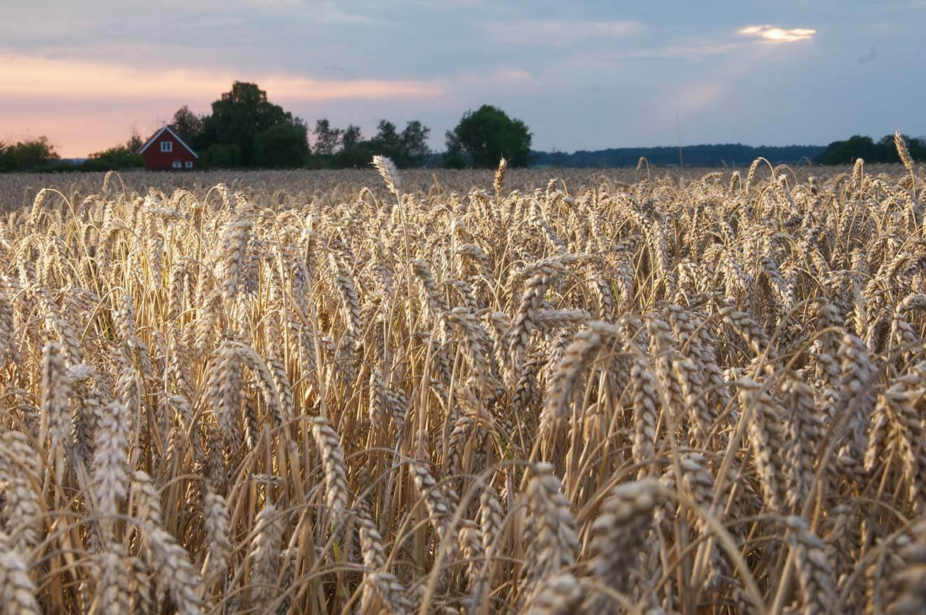 Wheat on Rabelof Estate - Ahus, Sweden