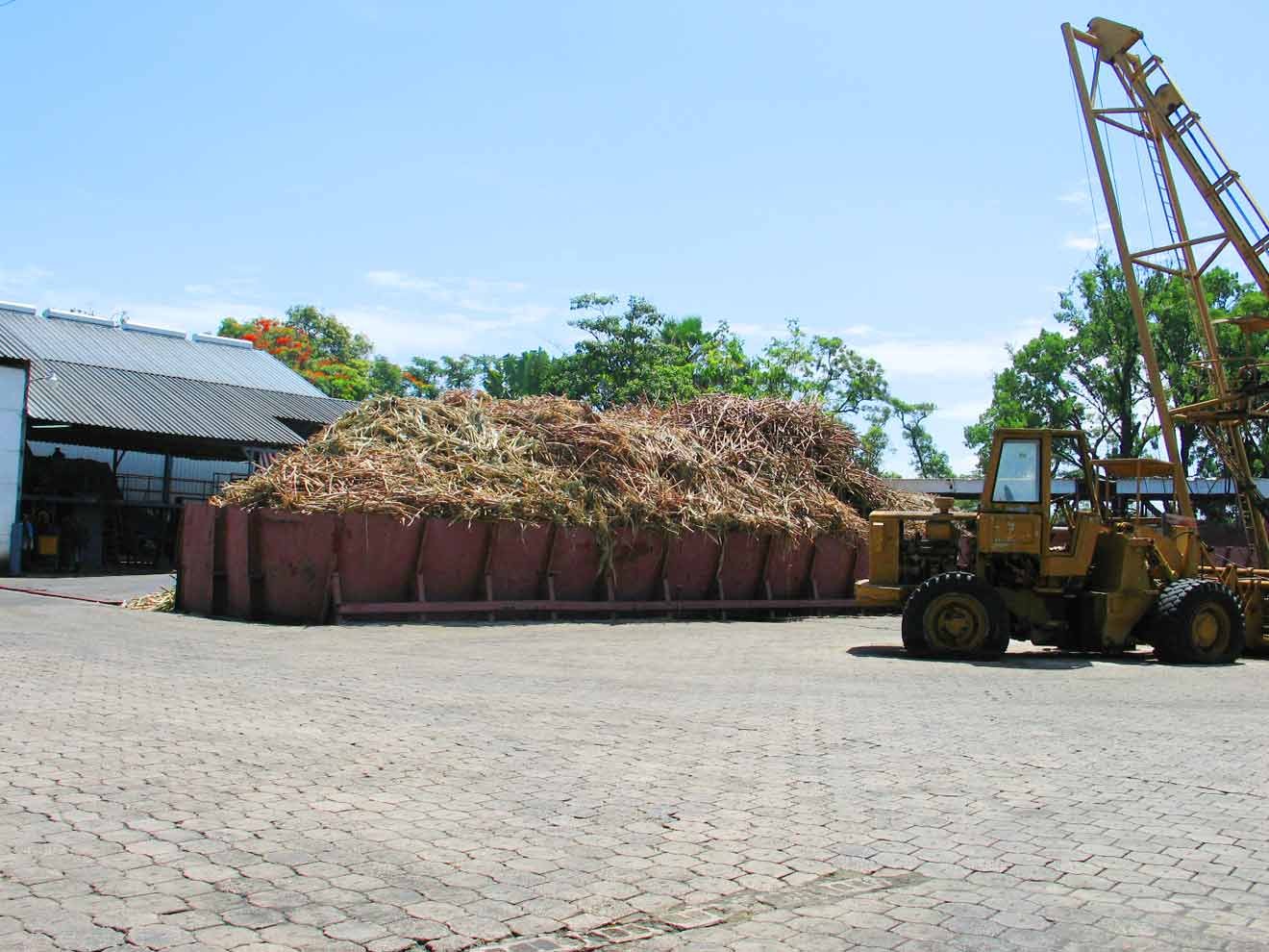 Sugar Cane Stacked for Prepping