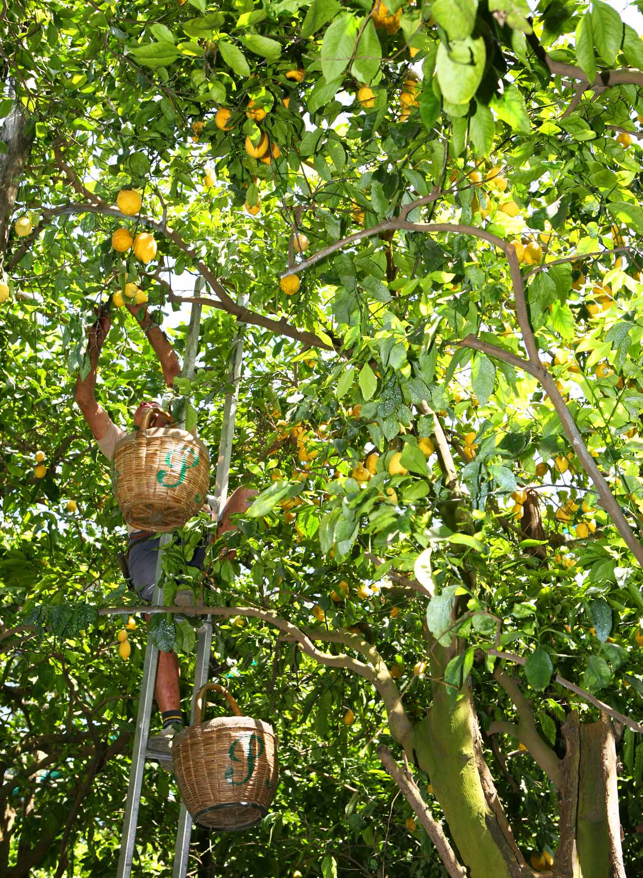 Harvesting Lemons in the Trees, what's chilling right now