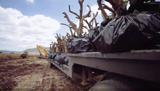 Patrón Tequila Helps Relocate 3,000 Lime Trees