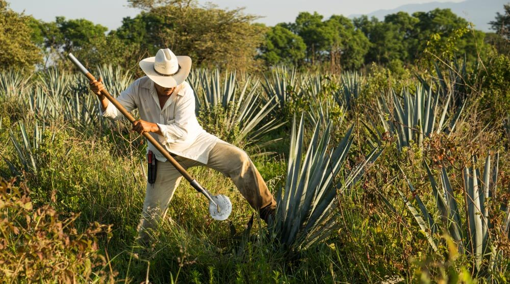 Azuñia Tequila Jimador in Agave Fields at Harvest