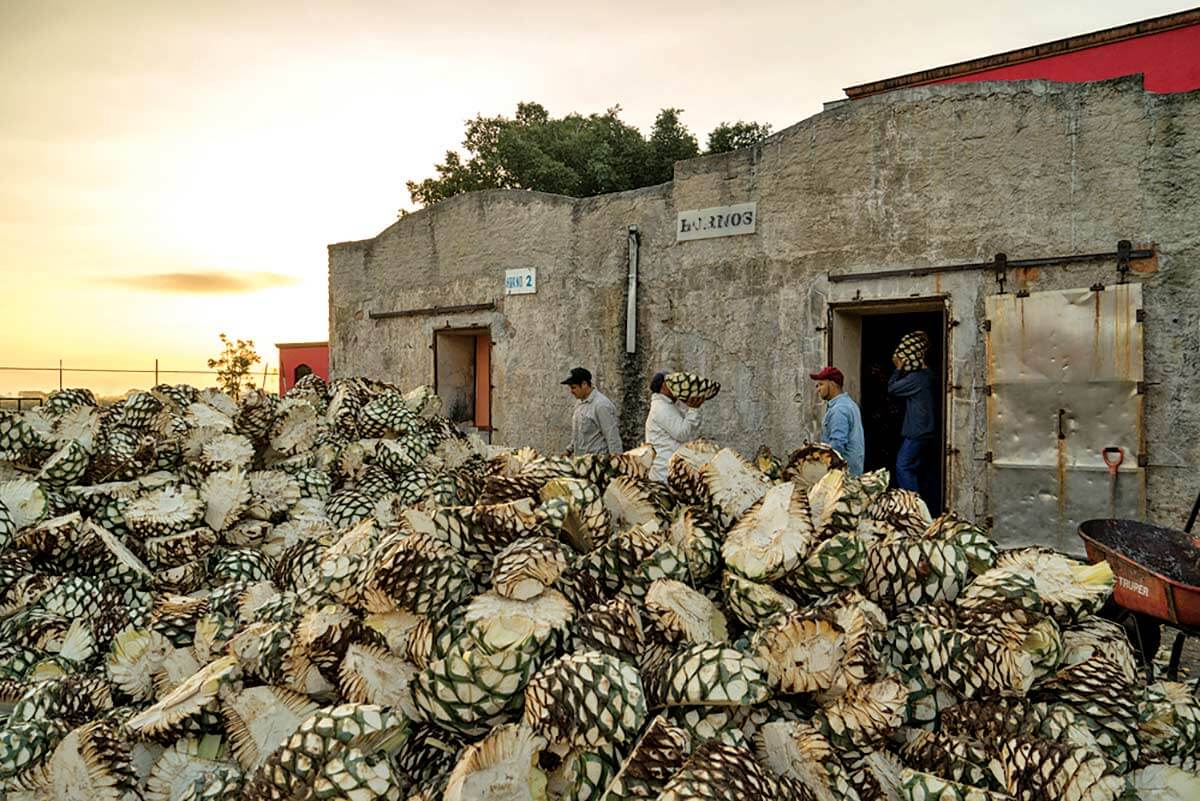 Tequila Production, agave plants harvested in front of building