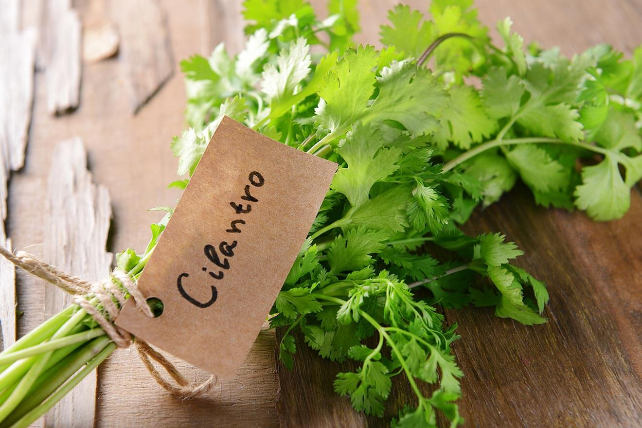 Cilantro sprig with label