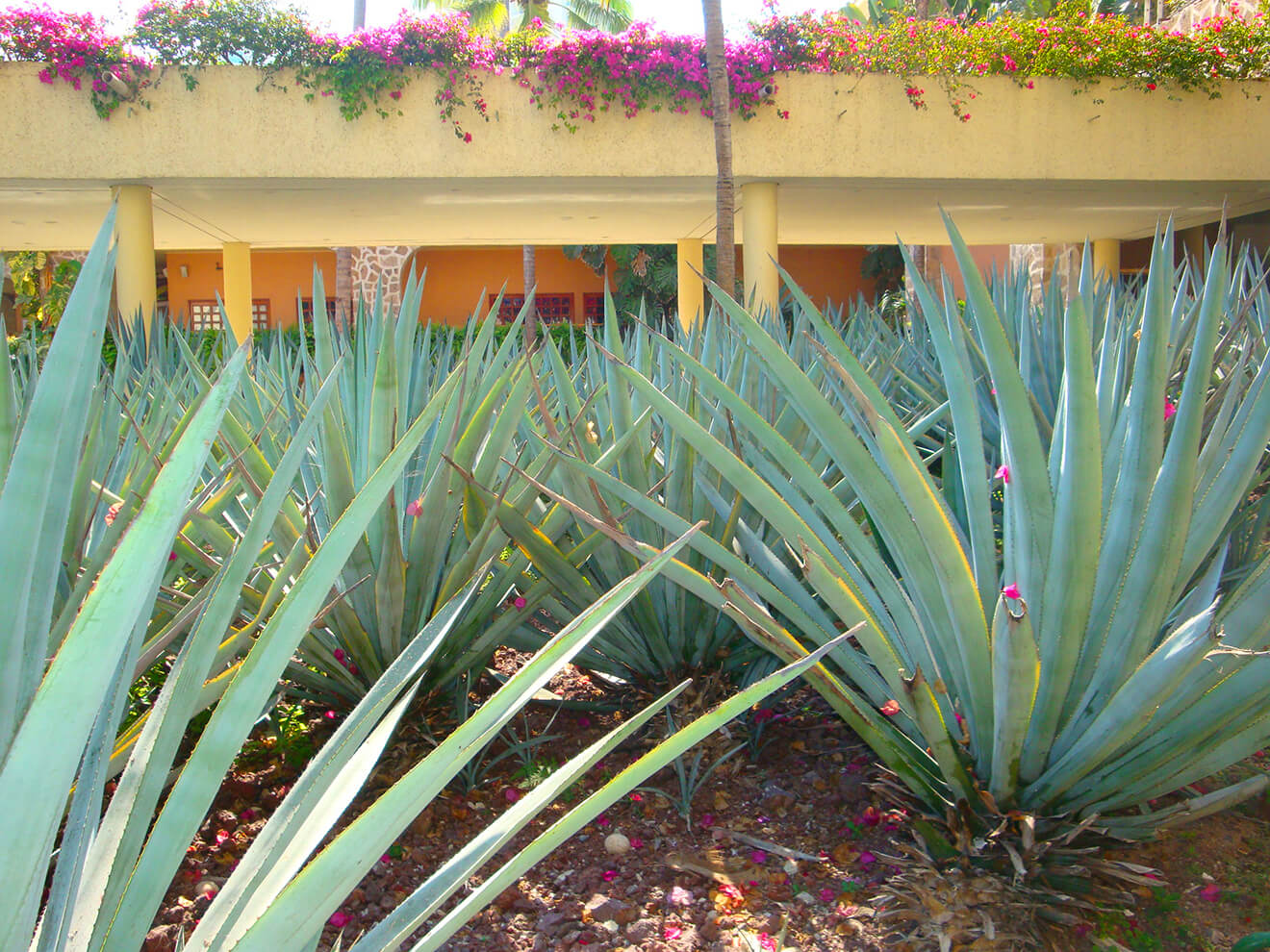 hotel agave fields