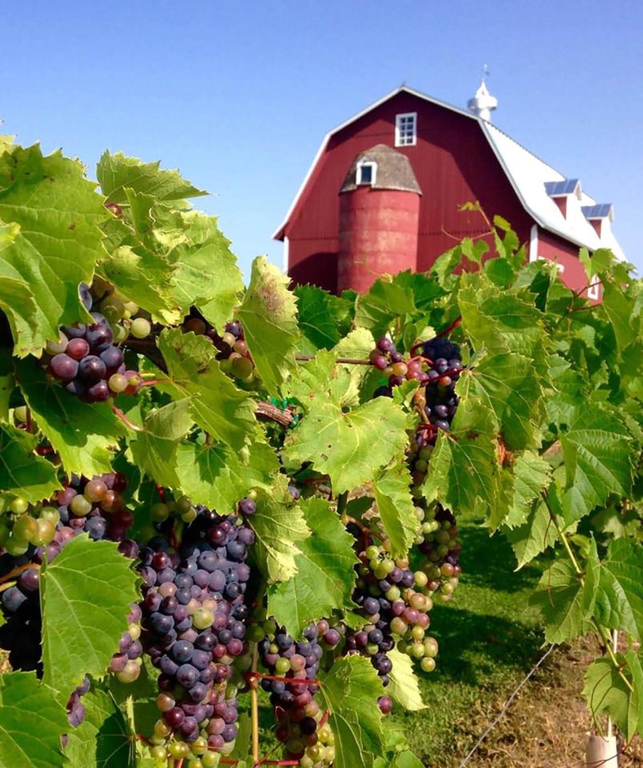 Lautenbach's Orchard Country Winery, vineyard and barn view