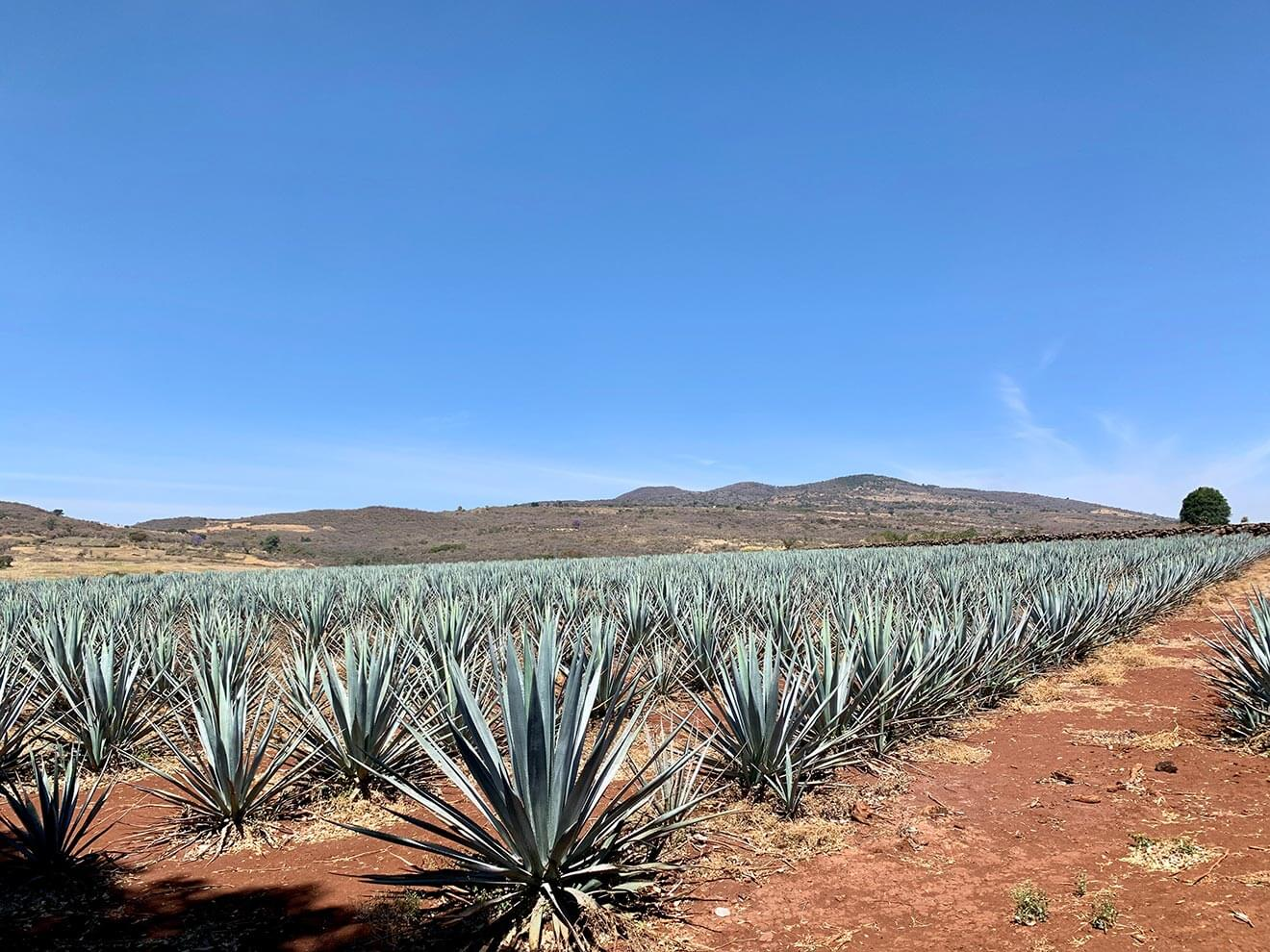 agave field, rows of plants, mountain view