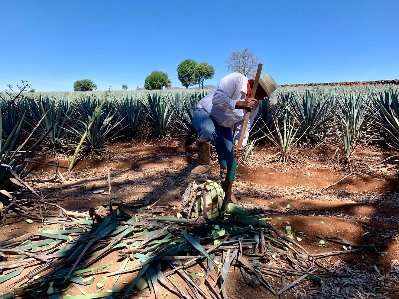 Harvesting Agave, worker in agave field