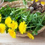 Medicinal Mixology: Dandelion, featured image