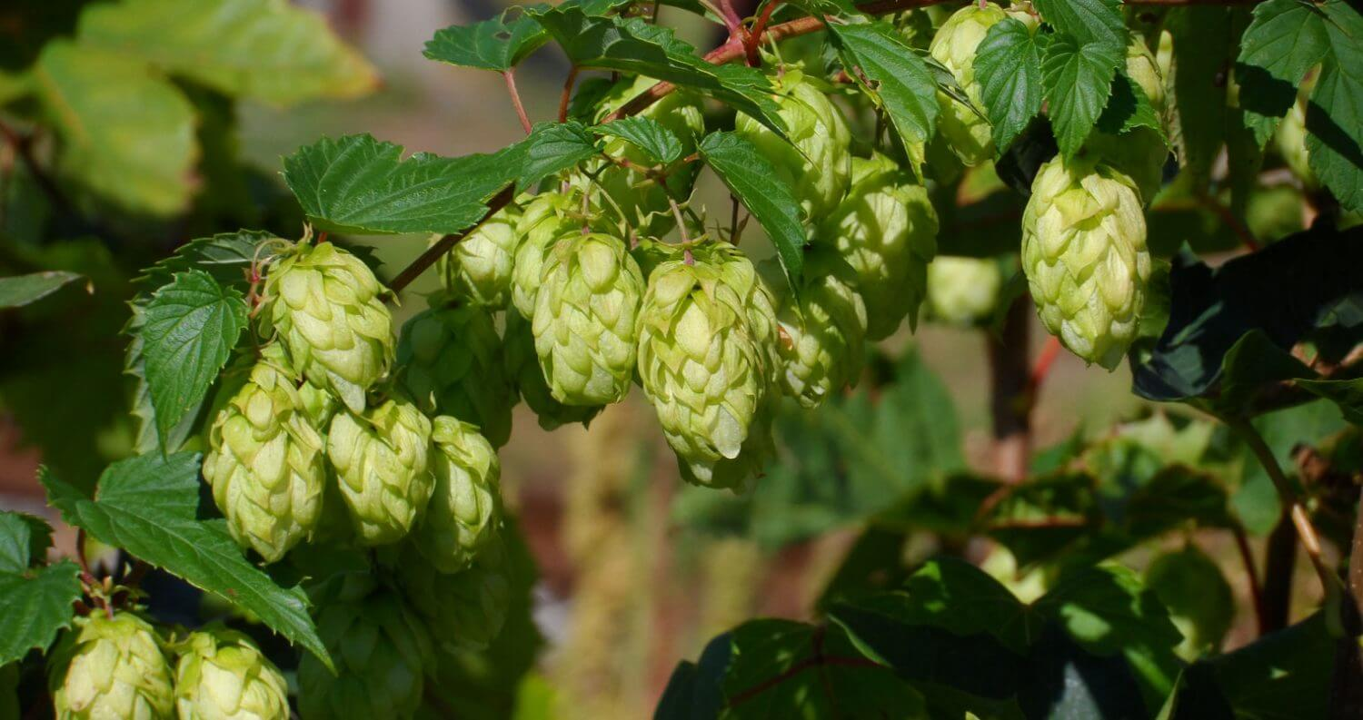 Hops buds on plant, featured image