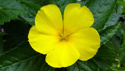 Damiana Liqueur: Herbal Aphrodisiac or Urban Legend?