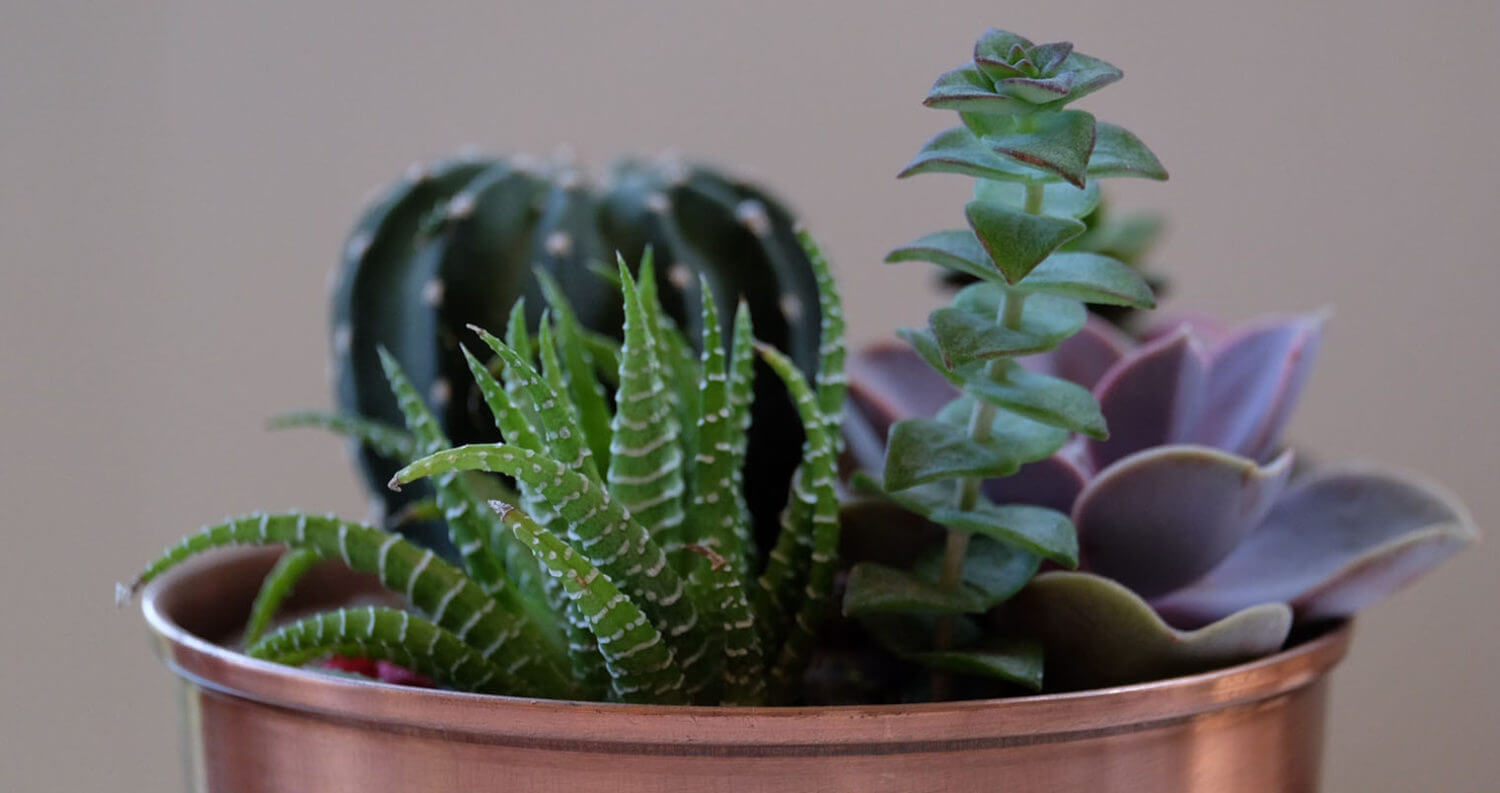 Cactuses, featured image