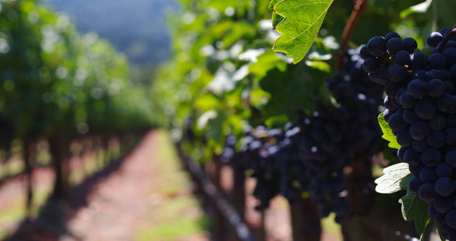 Cabernet Grapes by Michal Parzuchowski, featured image
